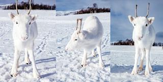 Ένας σπάνιος λευκός τάρανδος εντοπίστηκε στα βουνά της Νορβηγίας
