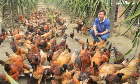 Tự tạo cơ hội Lên núi nuôi gà sạch