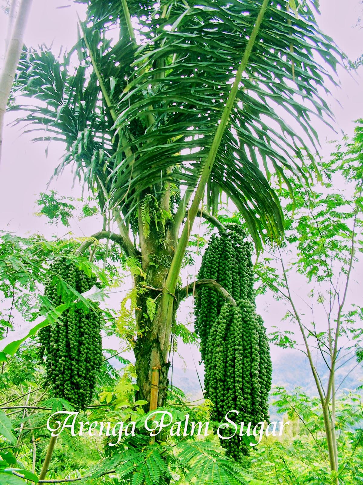 tanaman aren