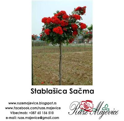Stablačica ruža Sačma