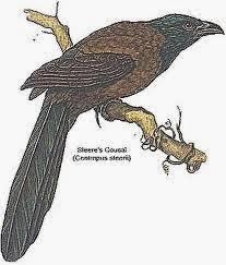 Cucal de Mindoro: Centropus steerii
