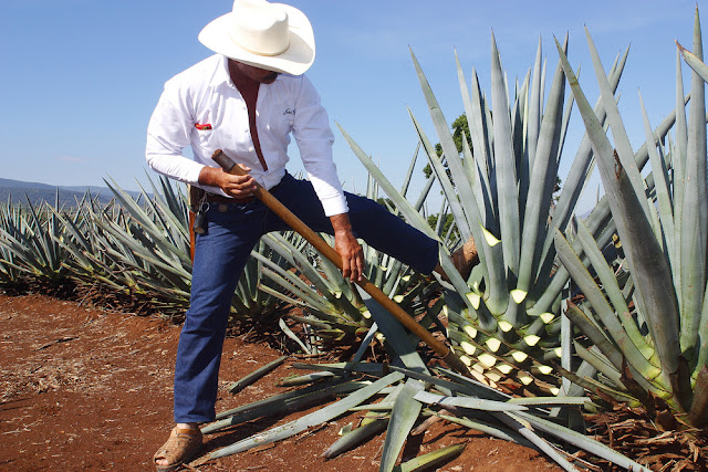 Harvesting the Blue Agave - Agave tequilana