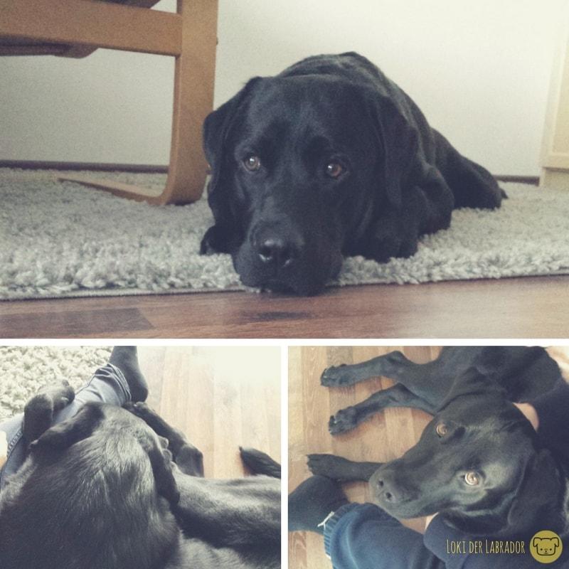 Fotocollage schwarzer Labrador kuschelig