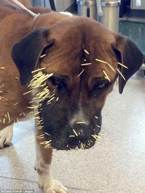 Thương cảm chú chó bị nhím tấn công
