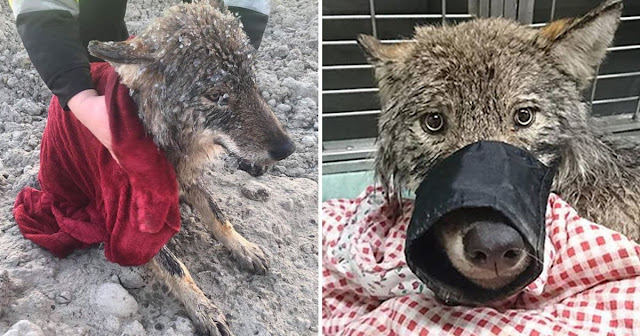 Wolf Rescued From Frozen River After It Was Mistaken For Dog