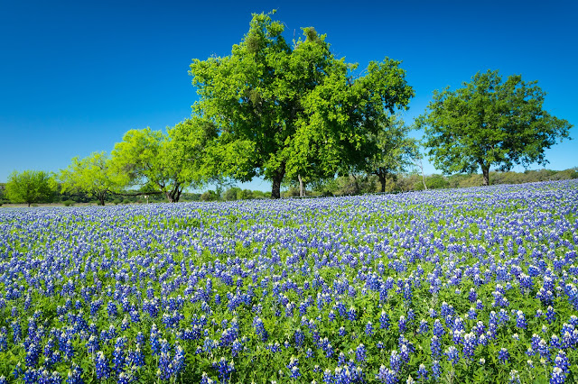 Bluebonnets at Turkey Bend Recreation Area