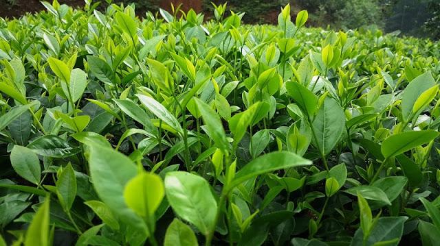 Tea harvest season in Yen Bai 3