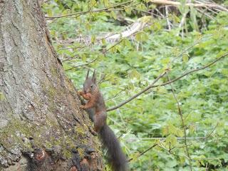 Eichhörnchen mit Walnuss aus dem Nusshaus