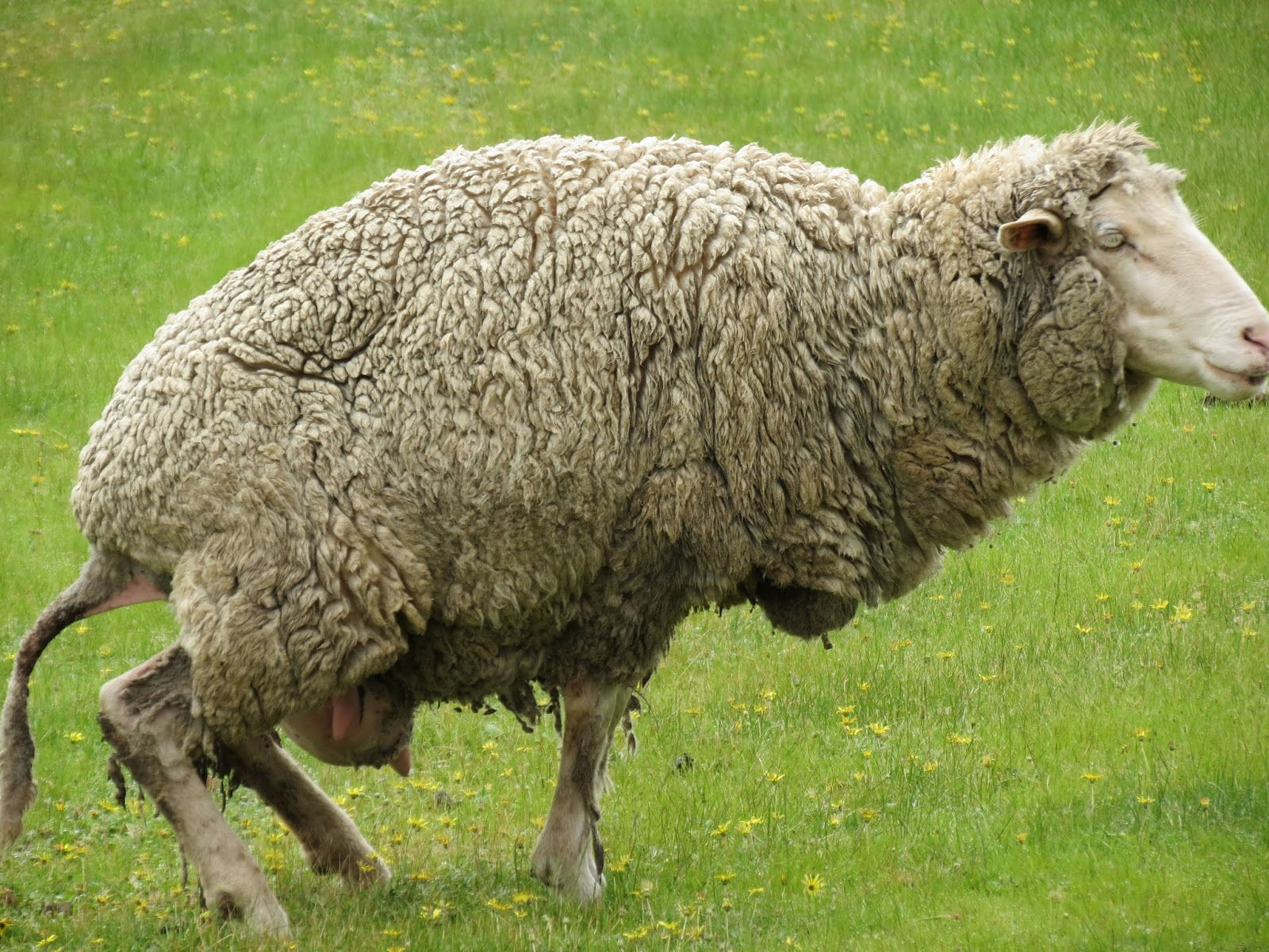 Pretending to Farm: How to Know when your Ewe is Lambing
