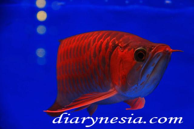 dragon fish, expensive fish, arowana fish price, diarynesia