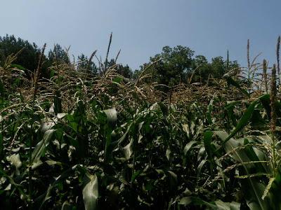 Happy non-GMO corn stalks
