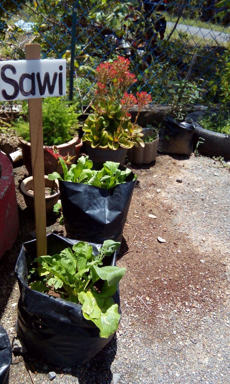 Aktiviti Kebun Dapur Juga Di Laksanakan Tabika Bersama Kanak Bertujuan Memberi Pembelajaran Sebenar Bagaimana Cara Menanam Pokok