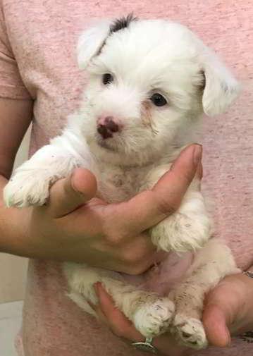 cachorro talla miniatura