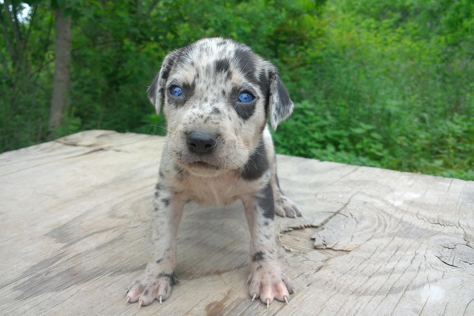 Blue Eyed Catahoula Leopard Dog For Sale