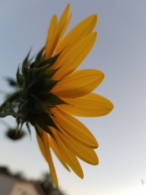Wild sunflower against the sky.