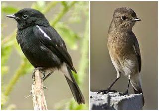 Foto Burung Decu Jantan dan Betina