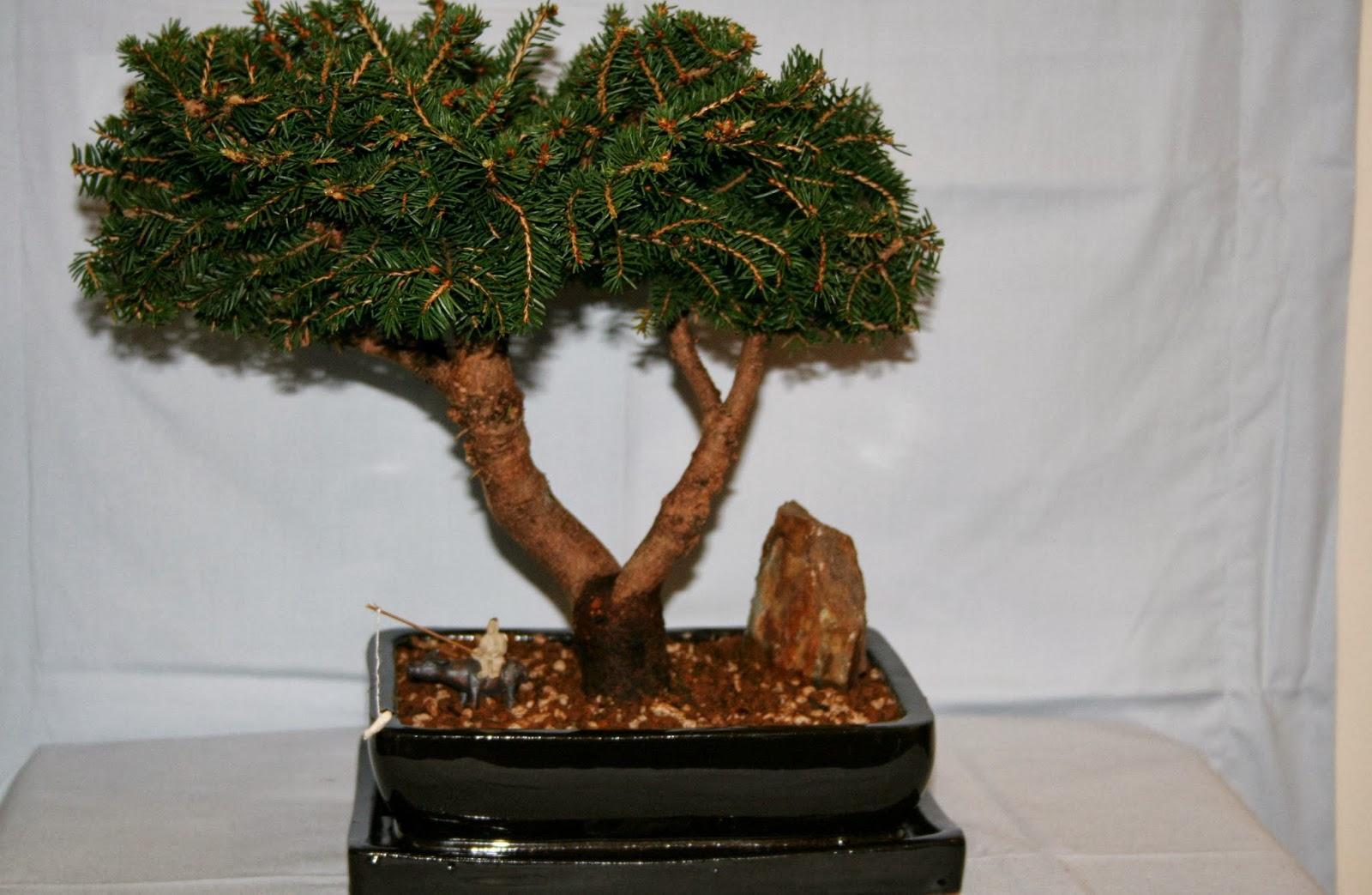 Yoji Bonsai Canada Bonsai Trees Available For Sale
