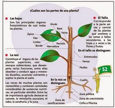 La c lula diversidad de las plantas for Cuales son las partes de un arbol