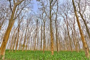 Ciri khusus tumbuhan pohon jati
