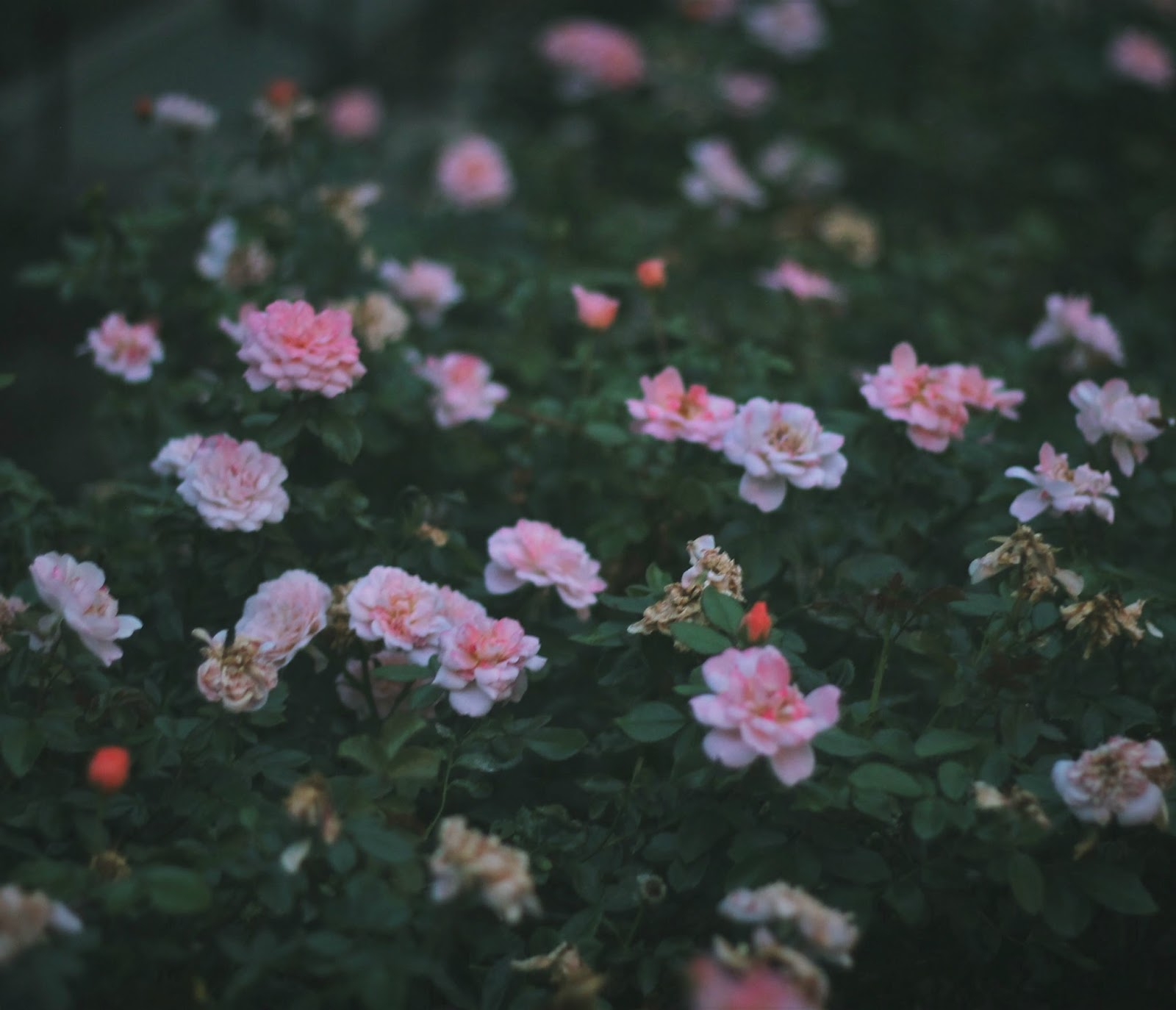 Roses | Someone Like You