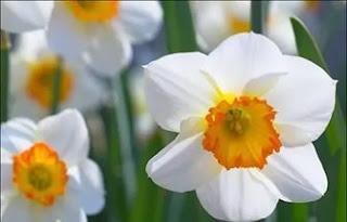 Цветок Варвары - белый нарцисс
