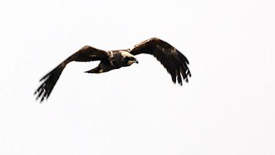 Osprey near Piaam