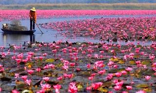 H λίμνη γεμάτη με ροζ λωτούς: Ένα μοναδικό υπερθέαμα της φύσης στην Ταϊλάνδη