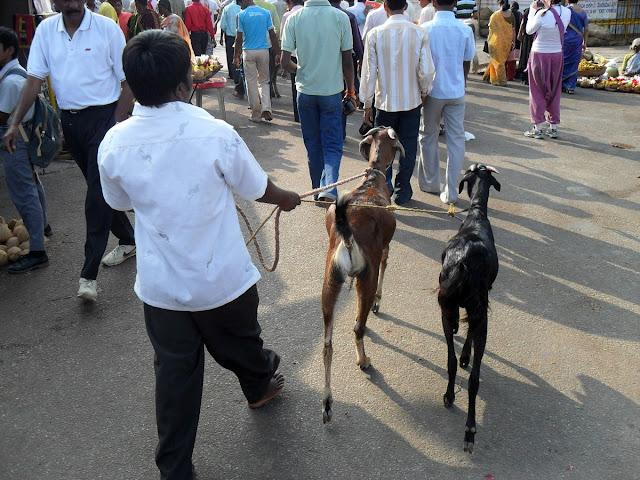 Индус с козами на поводке