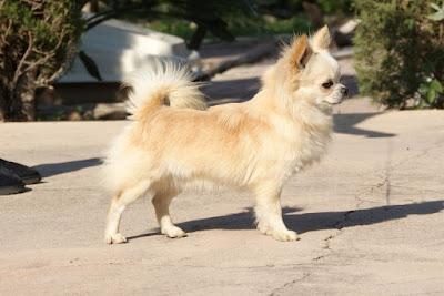 Chihuahua de linea inglesa