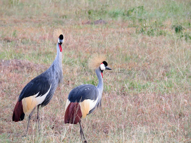 A pair of crested cranes in Uganda