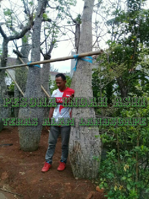 Jual pohon bottle tree