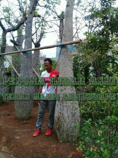 Jual pohon bottle tree