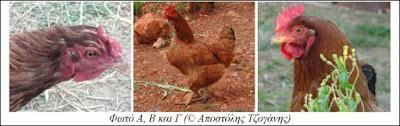 Διάφορες κόκκινες κότες