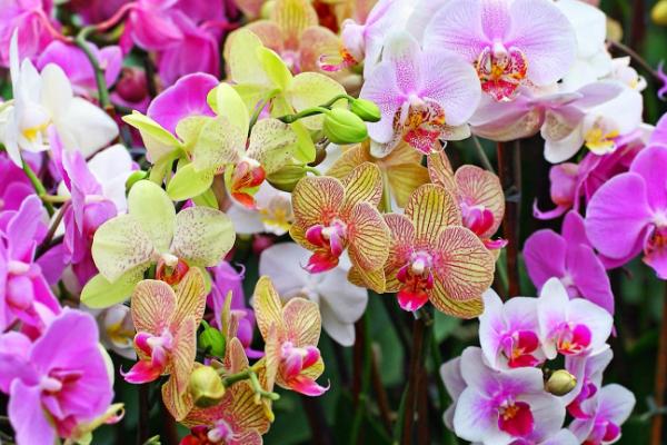 Cara Menanam Bunga Anggrek Yang Tepat di Pot dan di Tanah