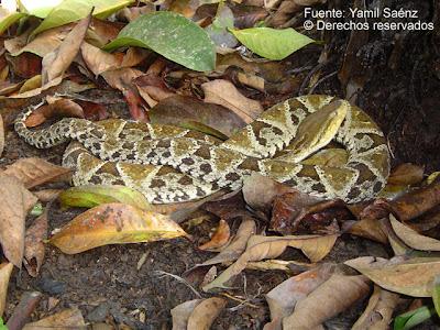 serpiente terciopelo Bothrops asper