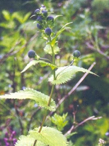 VICTORIYA ENTERPRISES Aconitum Heterophyllum