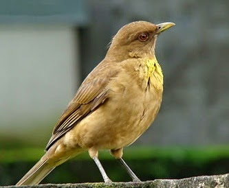Clay-colored thrush song