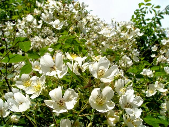 Best white rambling roses to grow in trees Rosa filipes Kiftsgate