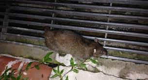 Rat Problems
