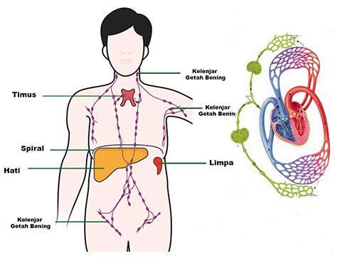 Sistem Peredaran Getah Bening (Limfa) dan Kelenjar Getah Bening