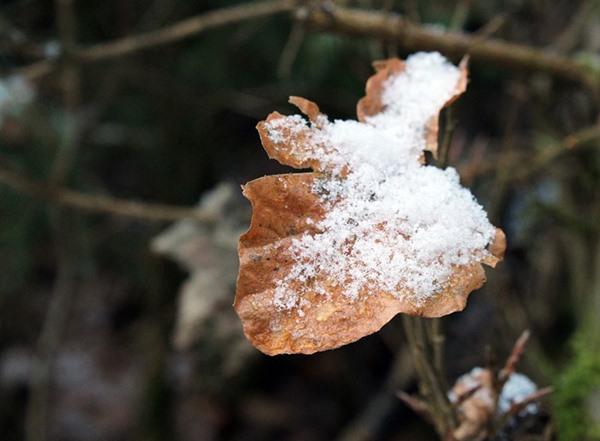 erster-schnee-auf-braunem-blatt