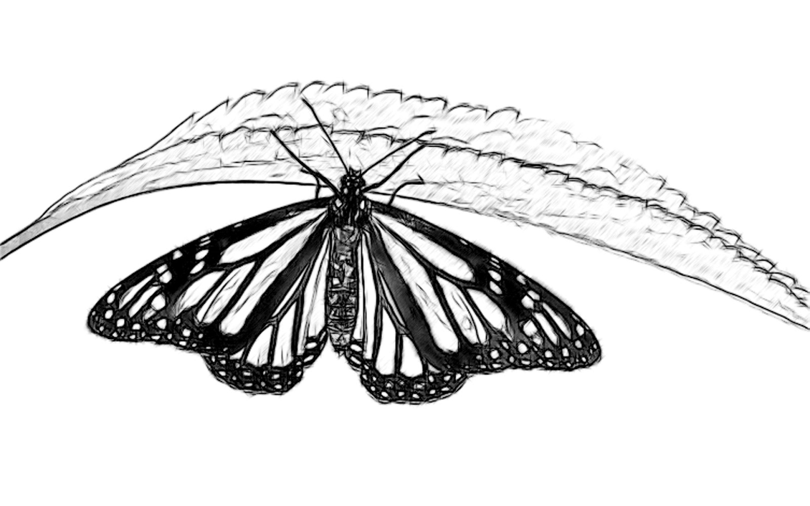 Line Drawing Pencil and Charcoal Art Galleries: Butterfly ...