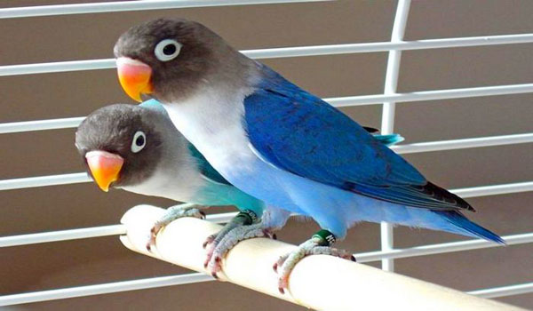 harga burung lovebird
