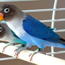 Harga Burung Lovebird Biru Mangsi Terbaru 2018