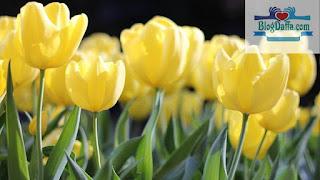 Macam macam bunga tulip