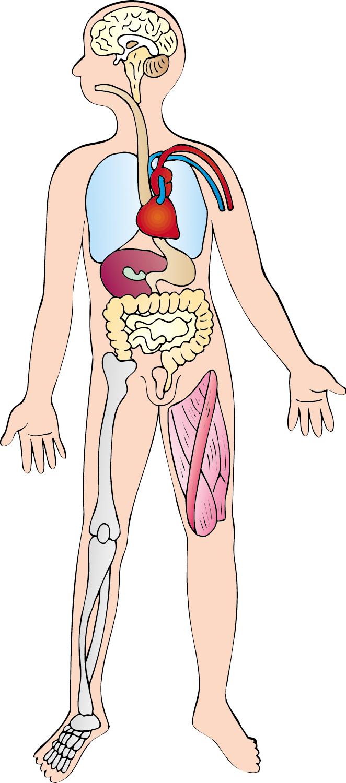 Eccezionale VIVACEMENTE con il cuore e con la mente: Nomi di parti anatomiche  LI77