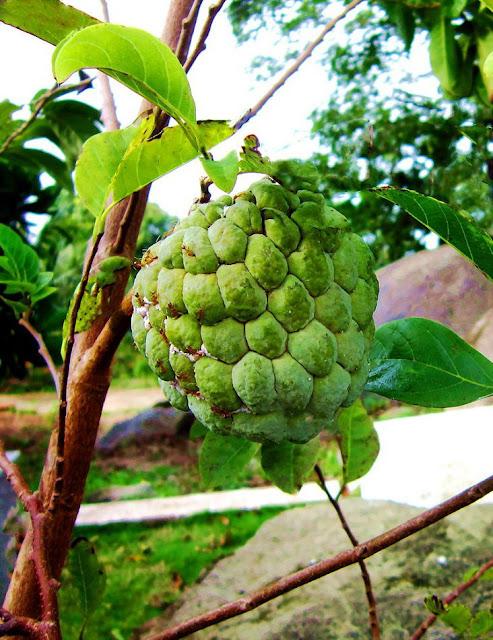 Quả Na - Annona squamosa - Nguyên liệu làm thuốc Chữa Cảm Sốt