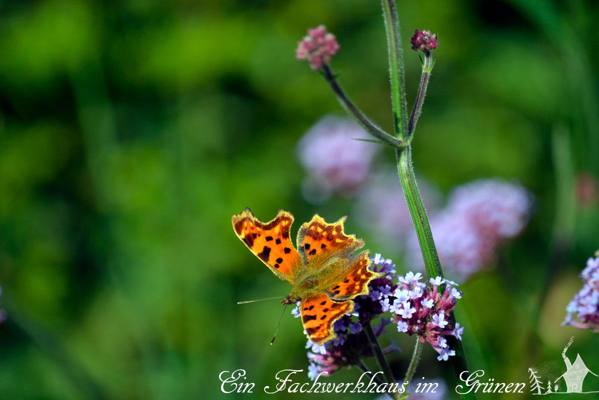 Schmetterling, Butterfly