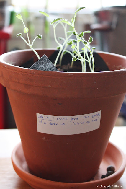 Sage seedlings - indoor gardening