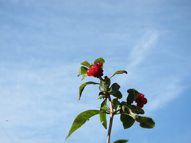 Small cluster of bright red honeysuckle berries with sickly looking leaves and spiders threads against a pale blue sky